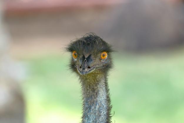 Zamknij się na portret emu w naturze