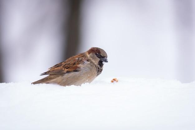 Zamknij się na ptak wróbel na śniegu