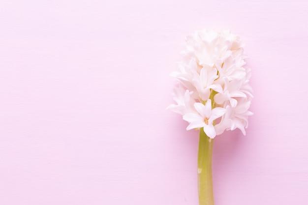 Zamknij się na różowy kwiat hiacynt na białym tle