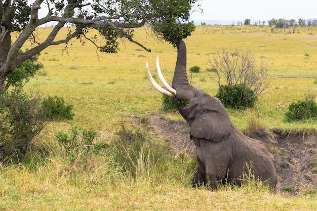 Zamknij się na słoniu zjada liście z drzewa