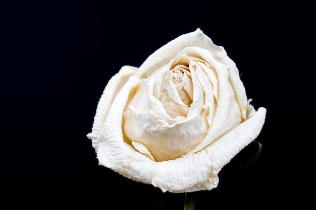 Zamknij się na suchej białej róży na białym tle