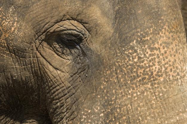 Zamknij się na szare oko słonia we łzach