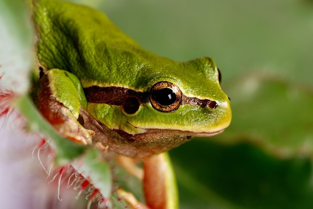 Zamknij się na zielone drzewo żaba