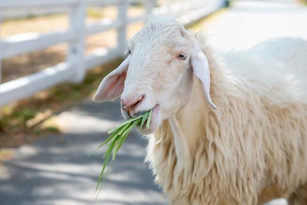Zamknij się obraz głowy owiec. barania łasowanie trawa w gospodarstwie rolnym.