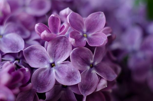 Zamknij się obraz jasny fioletowe kwiaty bzu abstrakcyjne romantyczne tło kwiatowy