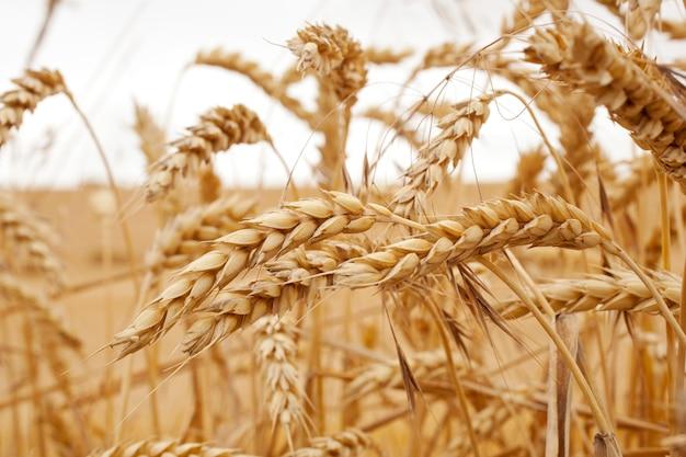Zamknij się od suszonych kłosów kukurydzy