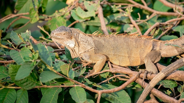 Zamknij się ogromny zielony legwan stoi i spoczywa na gałęzi drzewa w lesie deszczowym. legwan amerykański to nadrzewny gatunek jaszczurki. wybujały tropikalny zwierzę. dzika przyroda w lesie