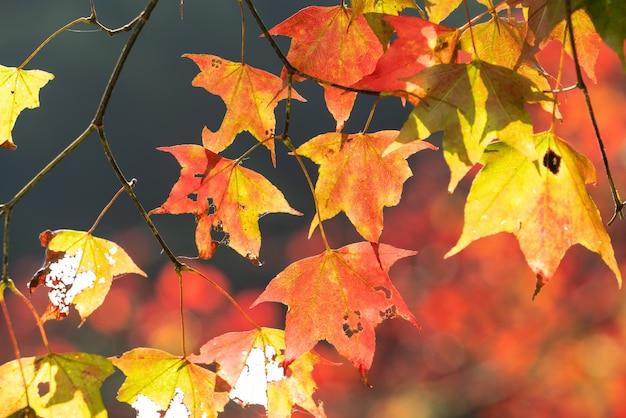 Zamknij się piękne liście klonu w jesienny słoneczny dzień na tajwanie bez miejsca kopiowania ludzi.