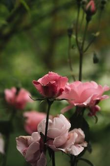 Zamknij się piękne róże