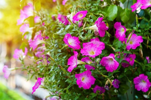 Zamknij się piękne różowe kwiaty petunia w doniczce w ogrodzie z promieni słonecznych.