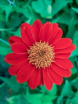 Zamknij się piękny czerwony kwiat cynia wspólnej