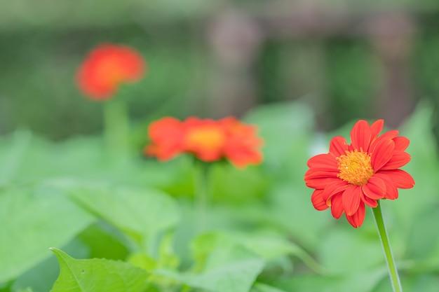 Zamknij się piękny czerwony kwiat cynia (zinnia elegans)