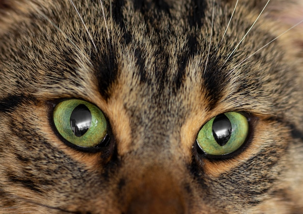 Zamknij się piękny kot z zielonymi oczami