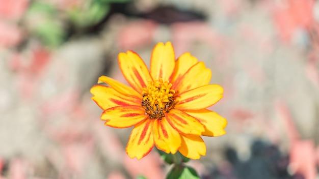 Zamknij się piękny kwiat kosmosu w soczi, rosja.