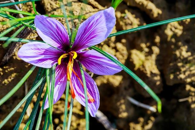 Zamknij się piękny kwiat szafranu rośnie na polu do zbioru przypraw. rolnictwo.