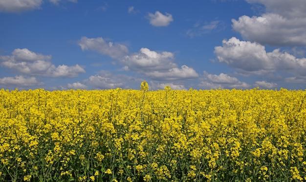 Zamknij się pole kwiatów rzepaku rzepaku zielony olej pod zachmurzone błękitne niebo
