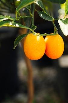 Zamknij się pomarańcze w ogrodzie