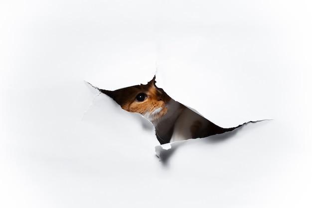 Zamknij się portret czerwony kot przez biały otwór rozdarty papier
