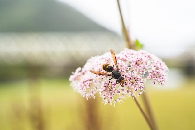 Zamknij się pszczoła miodna jedzenie na fioletowy kwiat