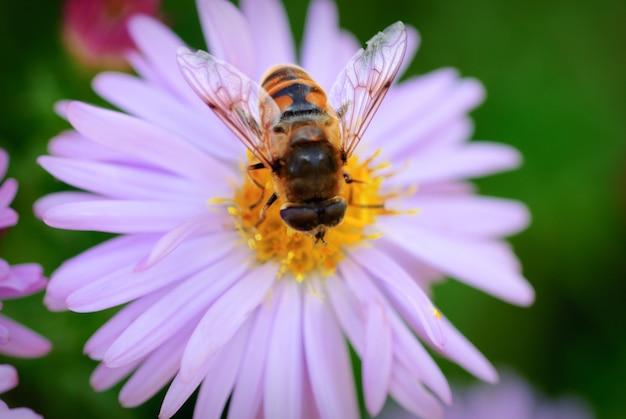 Zamknij się pszczoła na kwiatku