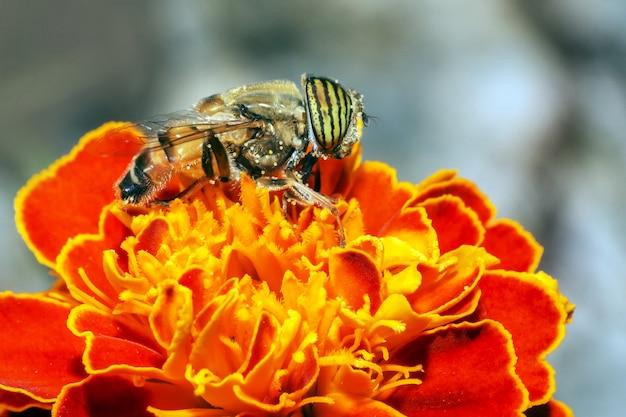 Zamknij się pszczoły stojącej na kwiatku