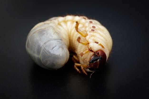 Zamknij się robaki, chrząszcz nosorożec kokosowy