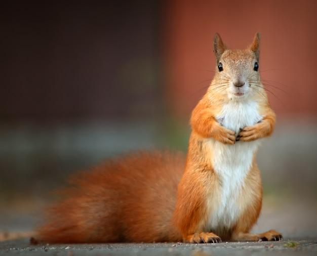 Zamknij się ruda wiewiórka w parku