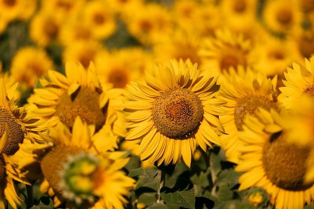 Zamknij się słoneczniki na słonecznikowym polu na wsi