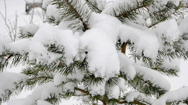 Zamknij się sosnowe gałęzie w śniegu. gałęzie drzewa świerkowe pokryte śniegiem po opadach śniegu. piękna zimowa tapeta.