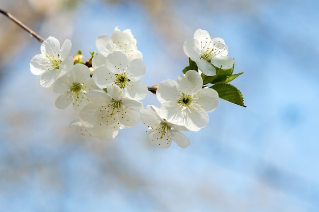 Zamknij się świeże białe kwitnące kwiaty na gałęzi drzewa z niewyraźne tło błękitnego nieba wczesną wiosną.