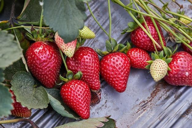 Zamknij się świeżych truskawek organicznych rosnących na winorośli.
