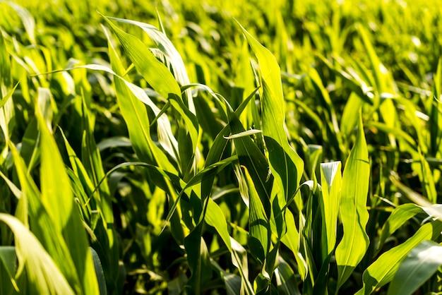 Zamknij się w polu kukurydzy w słoneczny dzień
