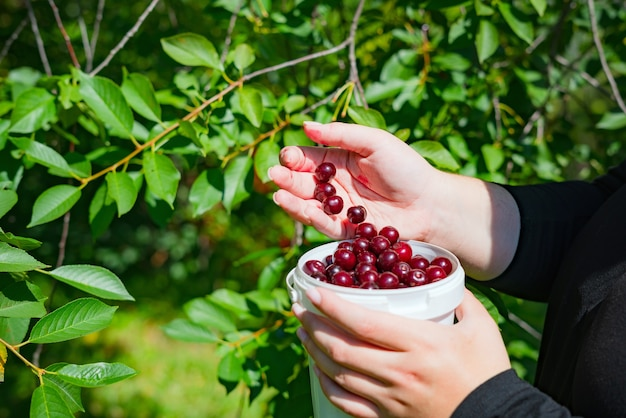 Zamknij się w ręce kobiety zbierając dojrzałe wiśnie z gałęzi drzewa.