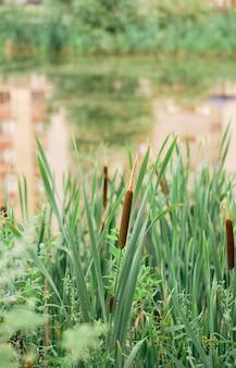 Zamknij się wąskolistna ożypałka lub miękkiej flagi roślin. (typha angustifolia). trzcina na jeziorze. rama pionowa. naturalne tło.