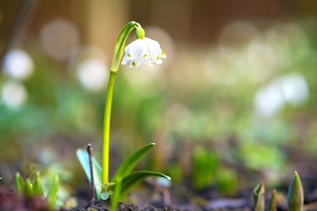 Zamknij się widok na mały kwiat przebiśniegi rośnie wśród suchych liści w lesie
