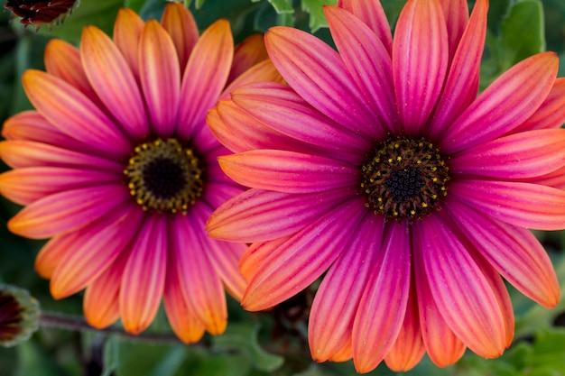 Zamknij się widok na piękne różowe kwiaty pomarańczowe stokrotki osteospermum.