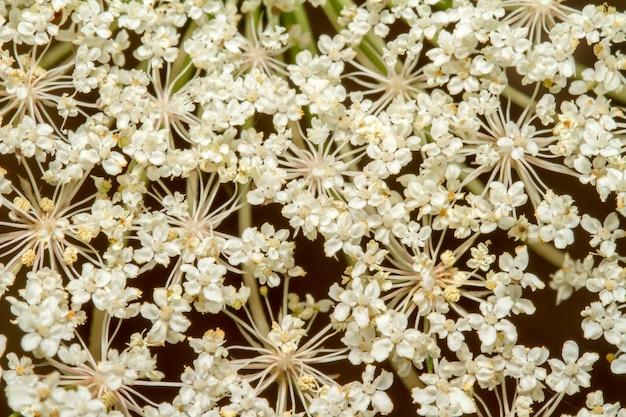 Zamknij się widok na piękny kwiat dzikiej marchwi (daucus carota).