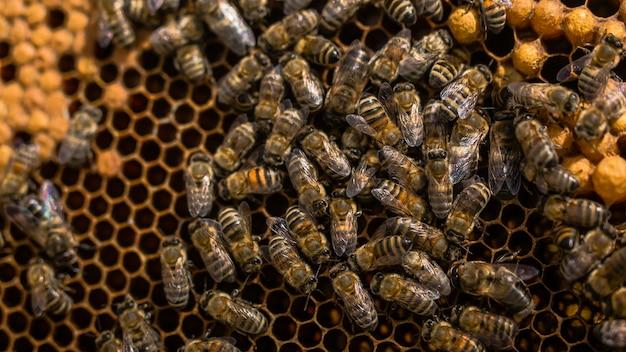 Zamknij się widok pszczół pracujących na komórkach miodu. pracujące pszczoły na strukturze plastra miodu