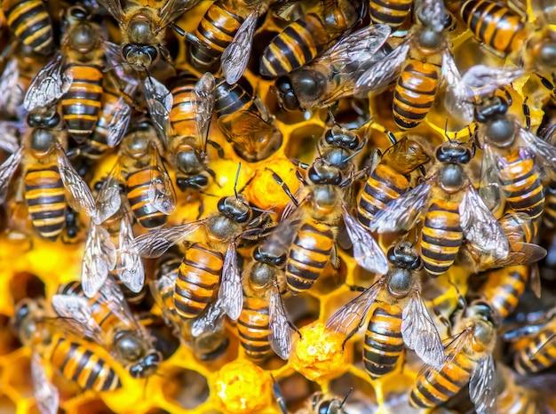 Zamknij się widok pszczół pracujących na komórkach miodu