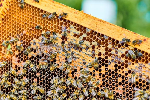 Zamknij się widok pszczół pracujących na plaster miodu ze słodkim miodem. miód jest zdrowym produktem pszczelarskim.