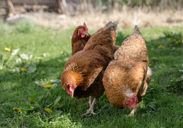 Zamknij się z czerwonego kurczaka w gospodarstwie w przyrodzie. kury na farmie rzutów wolnych. kury chodzą po podwórzu farmy.