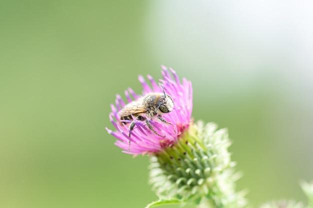 Zamknij się z dużych pszczoła siedzi na kwiat ostu