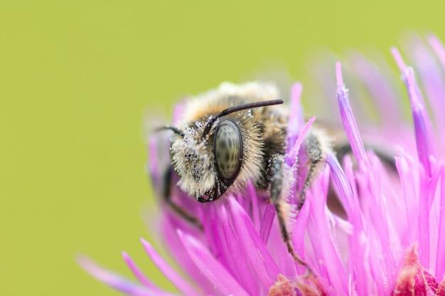 Zamknij Się Z Dużych Pszczoła Siedzi Na Kwiat Ostu Premium Zdjęcia