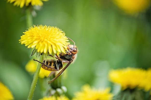 Zamknij się z gigantycznego szerszenia vespa crabro zbliżenie szerszenia na żółtym mniszka lekarskiego