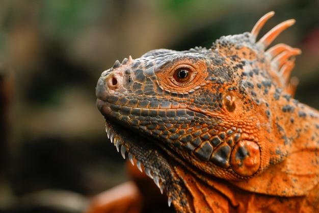 Zamknij Się Z Iguana Czerwona Premium Zdjęcia