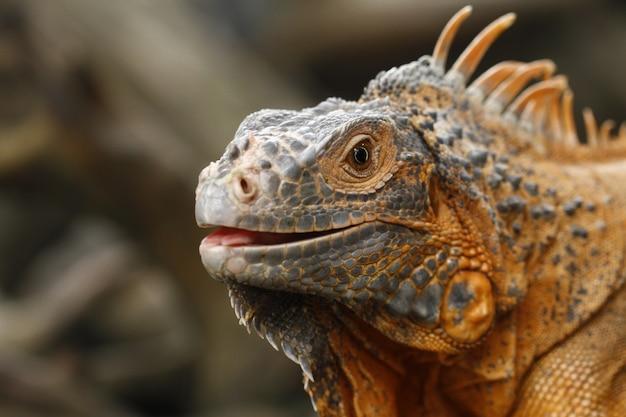Zamknij się z iguana czerwona