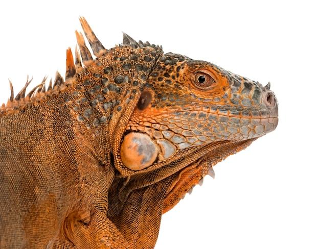 Zamknij się z iguana na białym tle