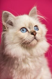 Zamknij się z kotem birman, patrząc w górę