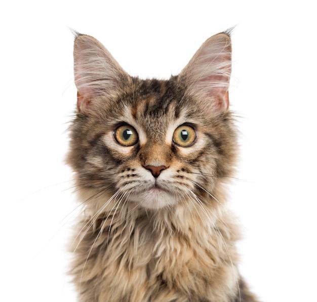 Zamknij się z kotka maine coon patrząc w kamerę na białym tle