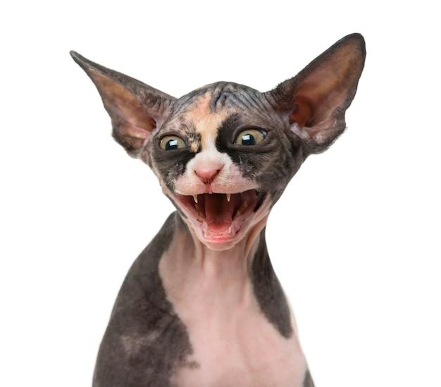 Zamknij się z kotka sphynx zagrażające na białym tle